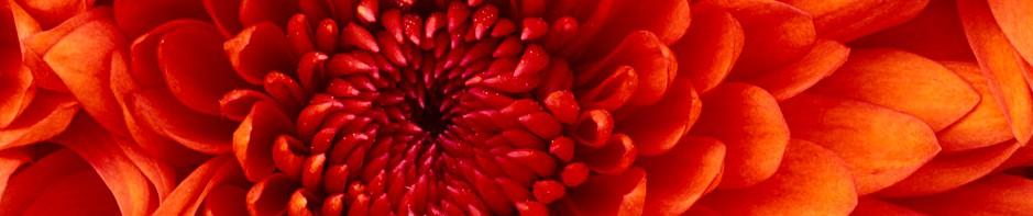 Chrysanthemum-wisdombodyyoga.com